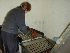 bollhayes sorting apples